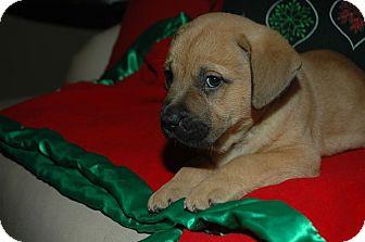 Boxer/Mastiff Mix Puppy for adoption in CHAMPAIGN, Illinois - ARETHA