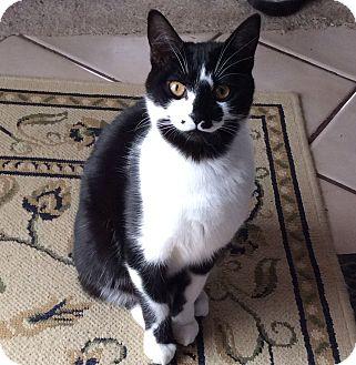 Domestic Shorthair Kitten for adoption in Port Republic, Maryland - Daffy