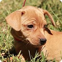 Adopt A Pet :: Rose (IN NEW ENGLAND) - Brattleboro, VT