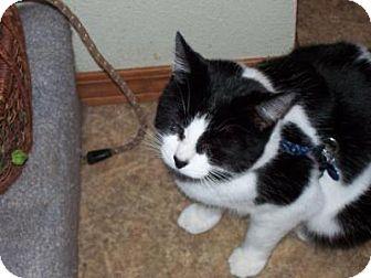 Domestic Shorthair Cat for adoption in Kelso/Longview, Washington - Leo