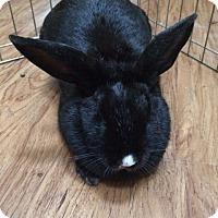 Adopt A Pet :: Smudge - Williston, FL