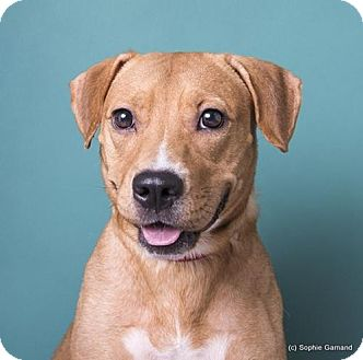 Labrador Retriever/Hound (Unknown Type) Mix Dog for adoption in Anniston, Alabama - Audrey