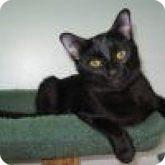 Domestic Shorthair Cat for adoption in Powell, Ohio - Nyssa