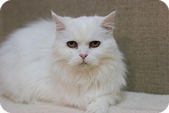 Persian Cat for adoption in Midland, Michigan - Misiz - NO FEE