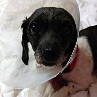 Adopt A Pet :: Sweetpea - Adoption Pending! - Farmington Hills, MI