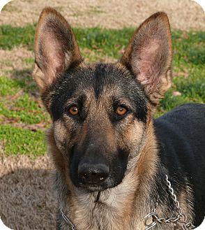 German Shepherd Dog Dog for adoption in Nashville, Tennessee - Sade