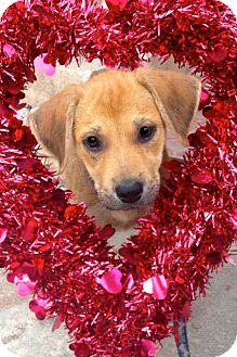 Labrador Retriever/Terrier (Unknown Type, Medium) Mix Puppy for adoption in Miami, Florida - Jean