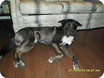 Labrador Retriever/Husky Mix Dog for adoption in Huntsville, Ontario - Bruno - Loves People!