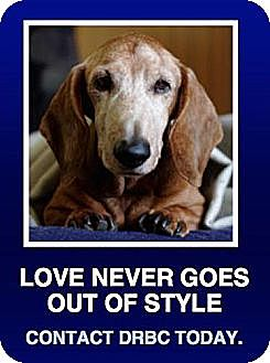 Dachshund Mix Dog for adoption in Morrisville, Pennsylvania - GrandPaws Program