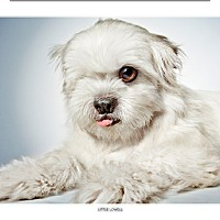 Adopt A Pet :: Little Lowell - New York, NY
