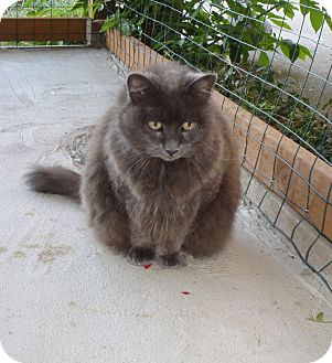 Domestic Longhair Cat for adoption in Quilcene, Washington - Midnight