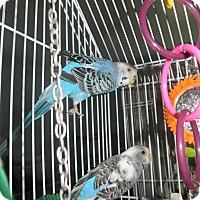 Adopt A Pet :: Princess & Star - Neenah, WI