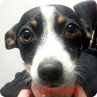 Adopt A Pet :: Lilly - Greencastle, NC