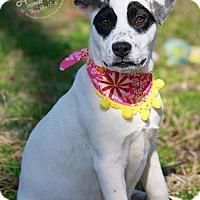 Adopt A Pet :: Black Eyed Suzi - Wilmington, DE