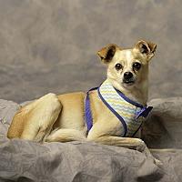 Whippet/Pug Mix Dog for adoption in Aqua Dulce, California - Leo