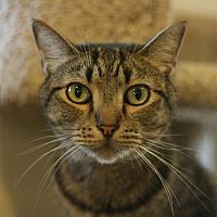 Domestic Shorthair Cat for adoption in Canoga Park, California - Mousaffa