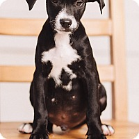 Adopt A Pet :: Bo - Portland, OR