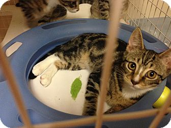 Domestic Shorthair Kitten for adoption in Carrollton, Virginia - Lil