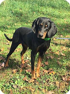 Coonhound/Doberman Pinscher Mix Dog for adoption in St. Catharines, Ontario - Surely