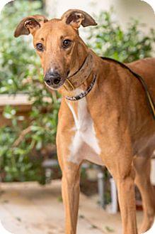 Greyhound Dog for adoption in Walnut Creek, California - American