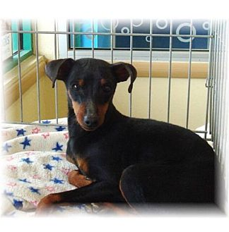 Miniature Pinscher Mix Puppy for adoption in Las Vegas, Nevada - Kiara's Kirby