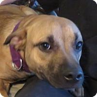 Adopt A Pet :: Shobie! Sweet Young Pup! - St Petersburg, FL