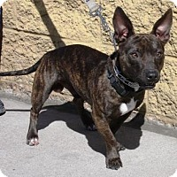 Adopt A Pet :: Frenchie - Gilbert, AZ