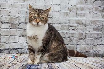 Domestic Shorthair Cat for adoption in Alpharetta, Georgia - Merci