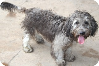 Schnauzer (Miniature)/Poodle (Miniature) Mix Dog for adoption in Norwalk, Connecticut - Tippet