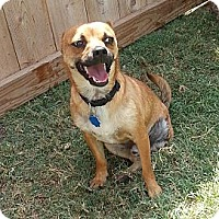 Adopt A Pet :: Brownie - San Antonio, TX