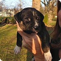 Adopt A Pet :: Max - Toledo, OH