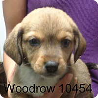 Adopt A Pet :: Woodrow - Greencastle, NC