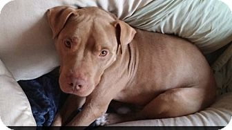 Pit Bull Terrier Mix Dog for adoption in Tomball, Texas - Big Red