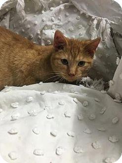 Domestic Shorthair Kitten for adoption in Paducah, Kentucky - Han