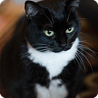 Domestic Shorthair Cat for adoption in Toronto, Ontario - Buttercup