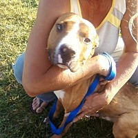 Boxer/Pit Bull Terrier Mix Dog for adoption in North, Virginia - Jim