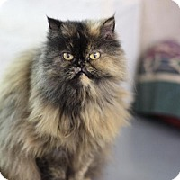 Adopt A Pet :: Pookie the Persian - Fresno, CA