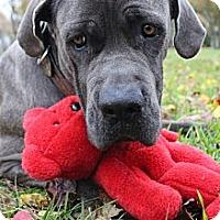 Adopt A Pet :: Blue - Missouri City, TX