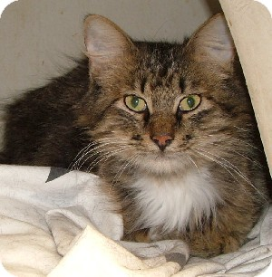 Maine Coon Cat for adoption in Savannah, Missouri - Tobin