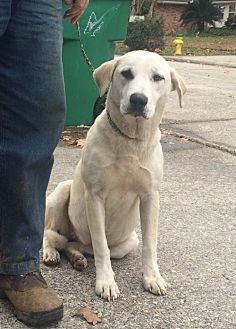 Labrador Retriever Mix Dog for adoption in Slidell, Louisiana - Honey