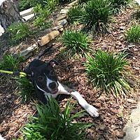 Adopt A Pet :: Piper - Gadsden, AL