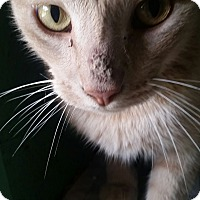Adopt A Pet :: Big Tom - Ocala, FL