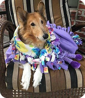 Collie Dog for adoption in Sugar Land, Texas - Dolly
