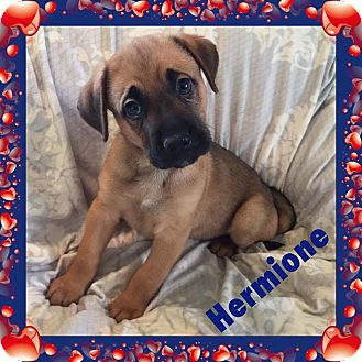 Black Mouth Cur Mix Puppy for adoption in DeForest, Wisconsin - Hermoine