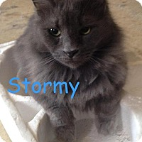 Adopt A Pet :: Stormy - Washington, DC