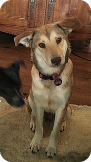 Labrador Retriever/German Shepherd Dog Mix Dog for adoption in Brattleboro, Vermont - Greta