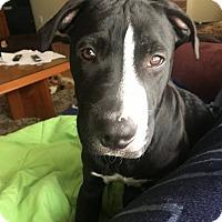 Adopt A Pet :: Homer - Tower City, PA