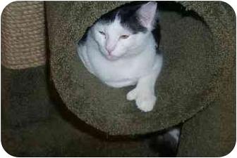 Domestic Shorthair Kitten for adoption in Newburgh, New York - Mittens