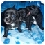 Photo 1 - Chihuahua/Dachshund Mix Puppy for adoption in Kingwood, Texas - Chiweenie Babes