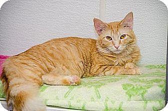 Domestic Mediumhair Cat for adoption in Atlanta, Georgia - Orangesicle 13136